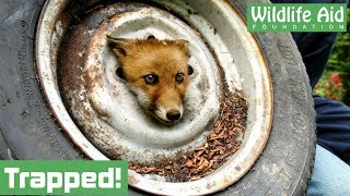 Download Fox cub gets head stuck in a wheel! Video