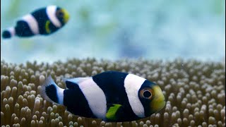 Download Incredible Teamwork From Little Clownfish - Blue Planet II Video