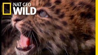 Download Amur Leopard Cubs | Miracle Babies Video