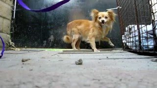 Download Rescuing 4 Pomeranians that were dumped on the streets. (By Eldad Hagar) Video