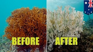Download Great Barrier Reef: Coral bleaching is killing Australia's spectacular coral reef - TomoNews Video