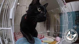 Download 【Jean & Pont 822】保護猫一時預かりで1日3回行われるイベント 2017/11/22 保護猫育成記録 Jean & Pont Video