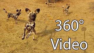Download What It's Like Being Surrounded by Wild Dogs - 360° Virtual Reality Video