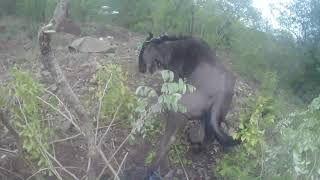 Download Snared Wildebeest Charges Rescuer Video