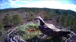 Download First FISH plonked onto egg, stick blows onto it ~ ©RSPB Loch Garten & Carnyx Wild Video