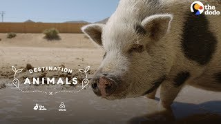 Download Hang Out With A Rescue Pig Who Eats Watermelon In Her Pool | The Dodo Airbnb Experiences Video
