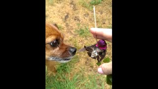 Download Hummingbird Rescue and A Little Dog's Love -Gotta See this! Video