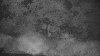 Download Djuma: Lion-Avoca male's walk on wall diverted by an Elephant - 22:26 - 01/28/2020 Video