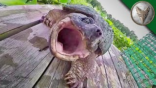 Download REALLY BAD Snapping Turtle Bite - WARNING GRAPHIC! Video