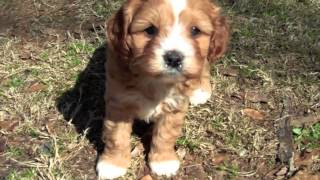 Download lucy and rusty's cavapoo puppies 2013 Video