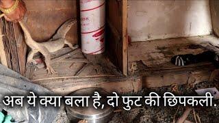 Download अब ये क्या बला है, 2 फुट की बडी छिपकली   Rescue Monitor lizard animal from Ahmednagar maharashtra Video