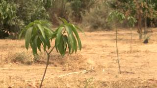 Download Rolling Back the Desert in Senegal Video