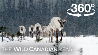 Download North America's Largest Herd of Caribou on the Move (360 Video) | Wild Canadian Year Video