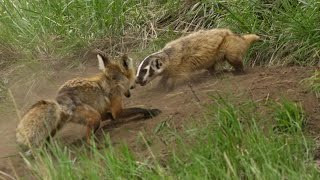 Download A fox and a badger fight in Yellowstone - the whole story Video