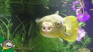 Download Tetraodon Mbu Puffer Largest Freshwater Puffer from Lake Tananyika Eating Clams Video