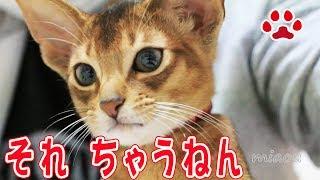 Download 仔猫める。これなに?また変なのもってきたな【瀬戸のるかめる日記】Did you bring something again? Cute kitten Mer. Video