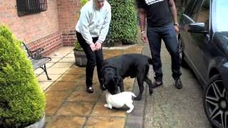 Download 8 Week Old Yellow Labrador Puppy Comes Home Video