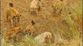 Download Lion Cornered by Hyenas Calls for Backup Video