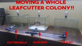 Download MOVING A WHOLE LEAFCUTTER COLONY - Atta sexdens #24(100 subs special) Video
