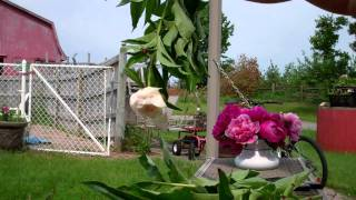 Download Drying Peony Video