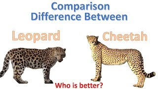 Download Difference between cheetah and Leopard | Cheetah Vs Leopard Video
