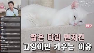 Download 짧은 다리 먼치킨 고양이만 키우는 이유는? Video