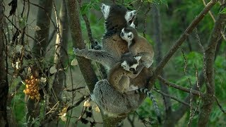 Download Cute Baby Twin Ring Tailed Lemurs | Madagascar w/ David Attenborough | BBC Video