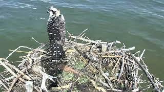 Download Osprey Nest - Chesapeake Conservancy Cam 07-20-2018 13:40:56 - 14:40:56 Video