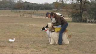 Download Afghan vs Whippet for BIF- AKC LC - GBSC 12-10-2011.wmv Video