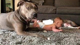 Download 彼らは本当に最も危険な犬ですか?ピットブルが赤ちゃんの面倒をみる様子がかかわいい#2 Video