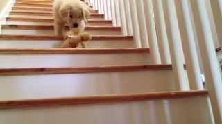 Download Boomer: The Golden Retriever Puppy Video