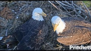 Download SWFL Eagles ~ M15 Wants To See His Egg!! Tries *PEEKING* Under Harriet's Petticoats! ♥♥ 11.12.19 Video