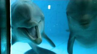 Download CNN: Dolphins see themselves in mirror Video