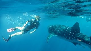 Download Swimming With A Whale Shark! Video