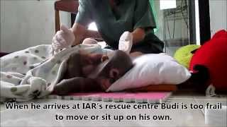 Download Crying baby orangutan Budi receives loving care after suffering year of neglect Video
