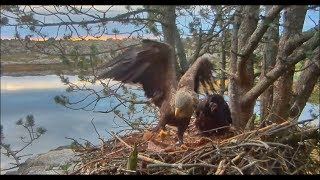 Download Smola Norway Eagles Nest Cam ~ Get It Dad!! Live Flopping Fish 6.23.17 Video