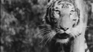 Download A Tiger Hunt In Bengal, 1950s Video