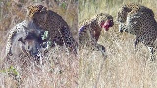 Download Leopards Fight Over Warthog While it Escapes Video
