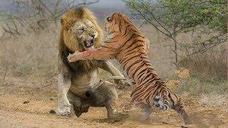 Download ЛЕВ В ДЕЛЕ! Львы против крокодила, гиен, буйволов... Video