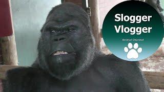 Download Silverback Gorilla Breaks Up Fight Between His Troop Video