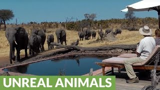 Download Surprise visit from wild elephants drink from pool Video