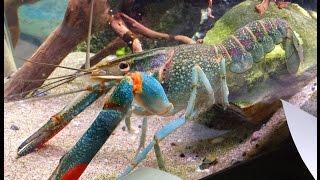 Download My 8″ Hammers Cobalt Blue Lobster Crayfish in my Community Aquarium Feeding (Cherax quadricarinatus) Video