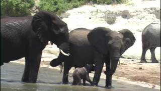 Download Baby Elephant Struggles to Manage his trunk when falls into Chobe River Botswana Africa Video