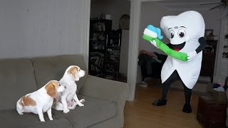 Download Dogs vs. Giant Tooth and Toothbrush: Funny Dogs Maymo & Penny Video