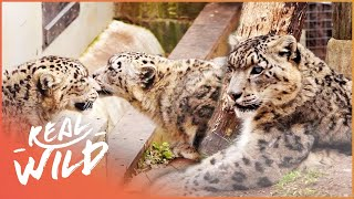 Download A Snow Leopard Love Triangle Has Developed! | Snow Leopards Of Leafy London Video