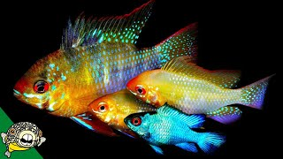 Download Angelfish and German Blue Ram Fish Room Tour with Master Breeder Dean Video