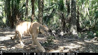 Download Florida Everglades Trail Camera Pickup Video