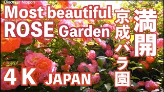 Download [4k]Keisei Rose Garden 千葉県・京成バラ園の満開のローズガーデン 花見頃 GH4 Video