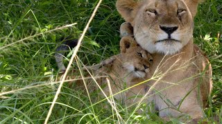 Download Lioness Underestimates the Strength of an Impala Video