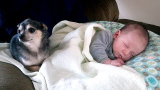 Download Little Chihuahua protects and takes care Baby | Dog is the best nanny of Baby Video